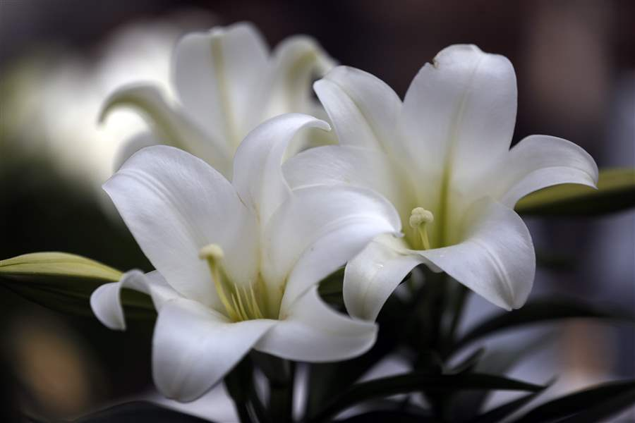 Lilies Rich With Symbolism Of Easter And Spring The Blade