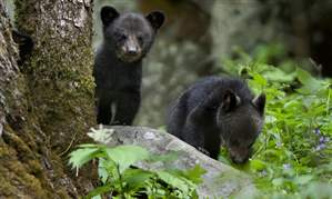 Black-bear-cubs-1