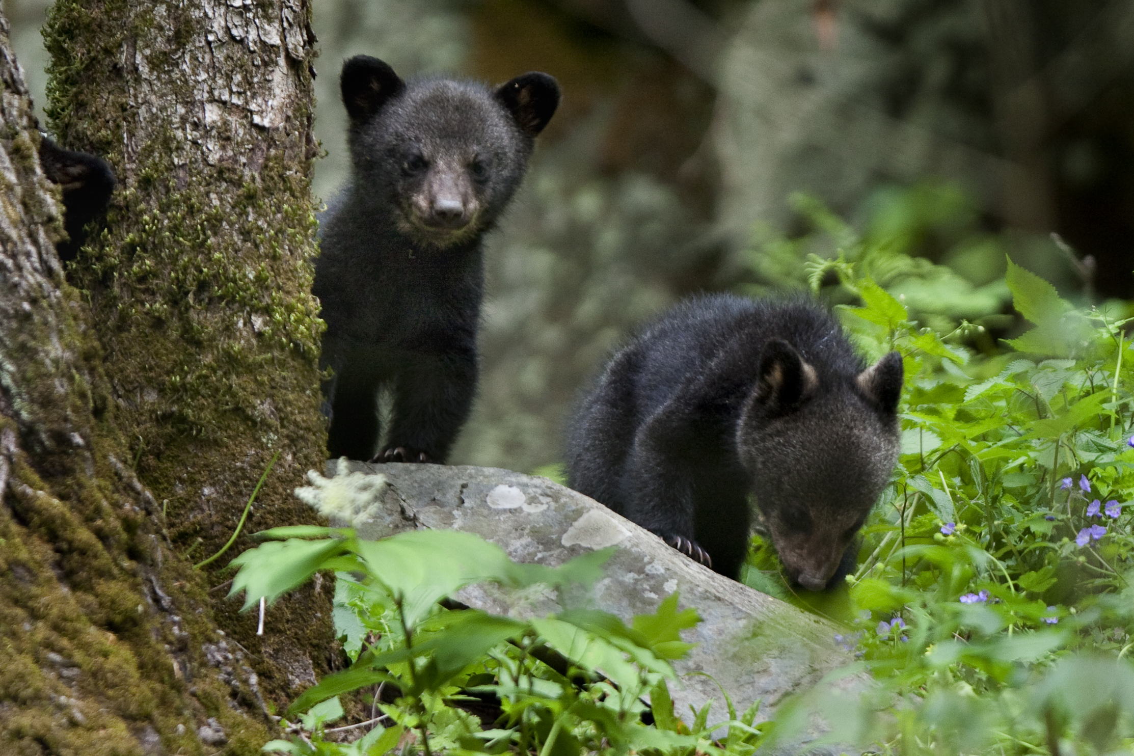 Orphaned Bear Cub Gets A New Chance At Life In The Wild
