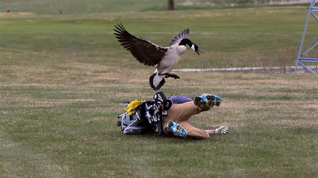 Goose takes down golfer, and it's actually pretty amusing !