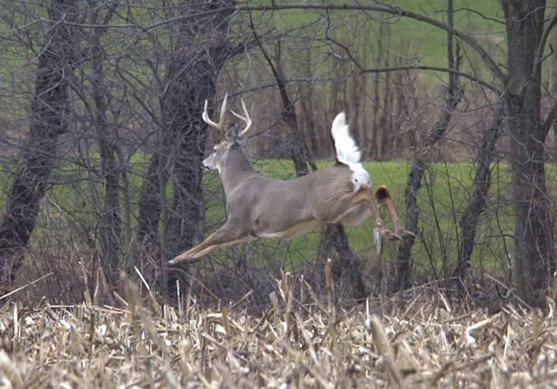 Deer are plentiful this hunting season | Toledo Blade