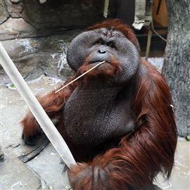 Orangutans among endangered species Toledo Zoo helps support