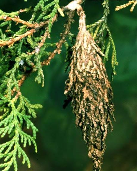What to do about bagworms, webworm, and spider mites