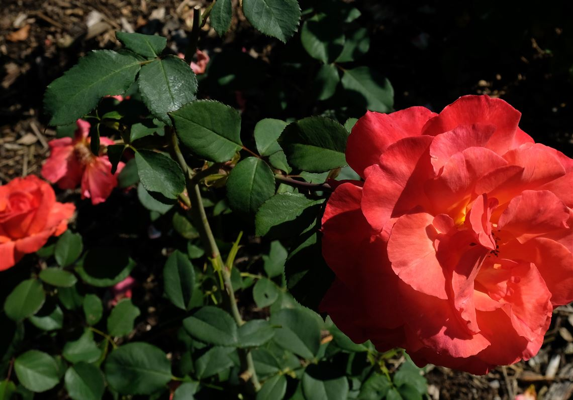 Time To Get Your Roses In The Ground Toledo Blade