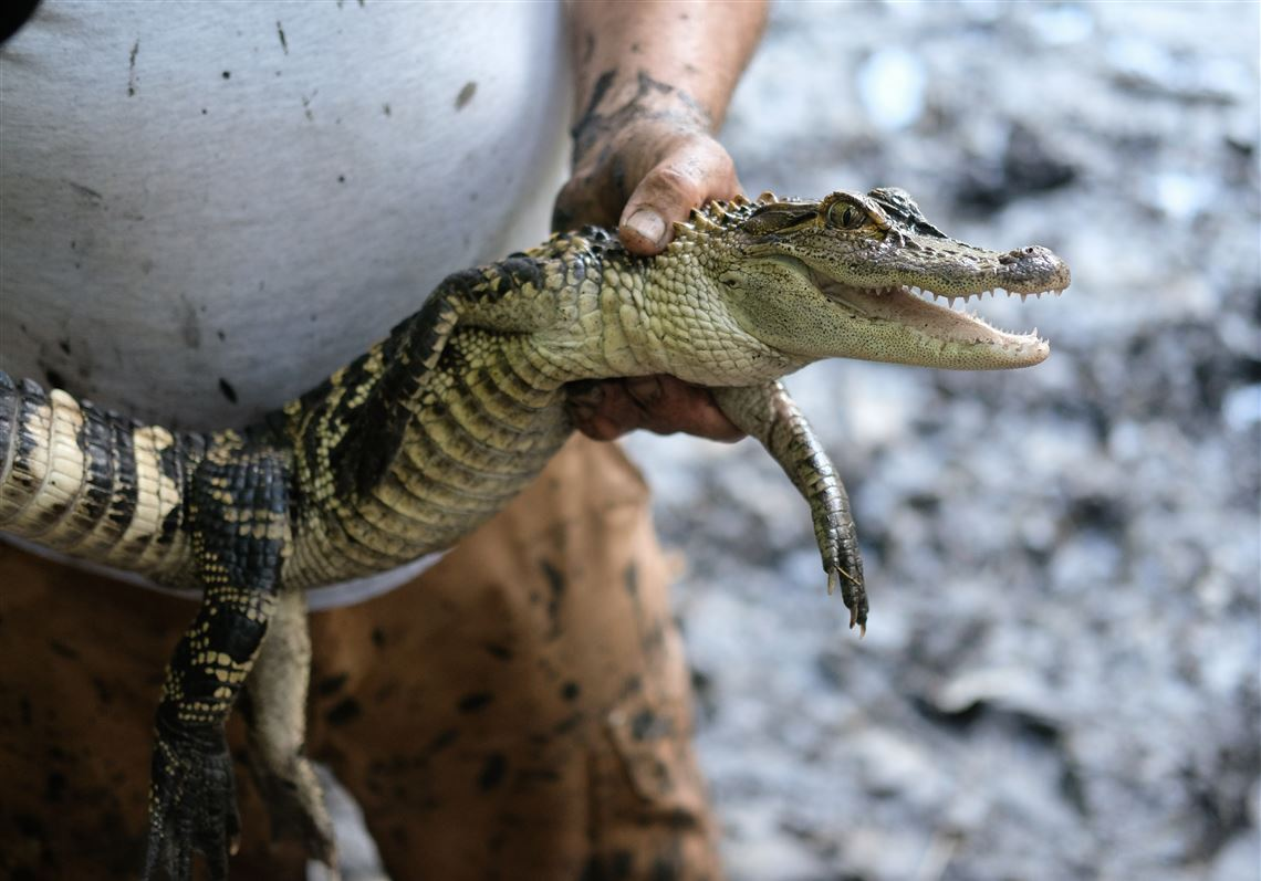 It's an alligator! Bedford Schools' pond creature captured | The Blade