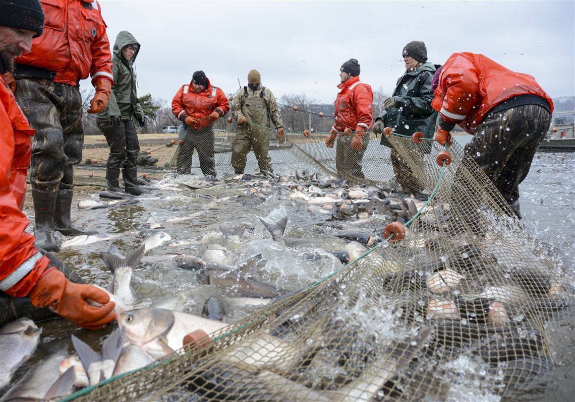 Asian Carp Turning A Nuisance Into A Commodity For The Great Lakes The Blade